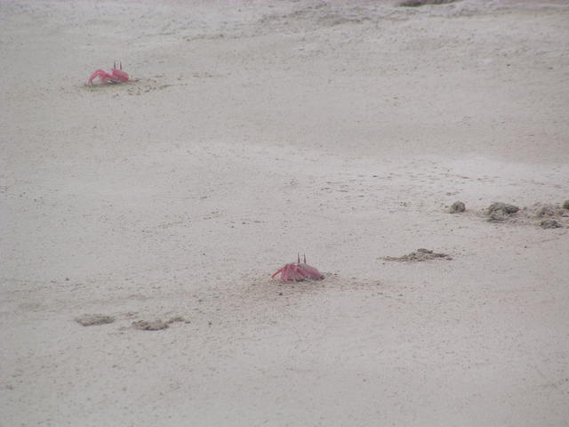 red crabs on beach - free image