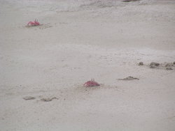 red crabs on beach