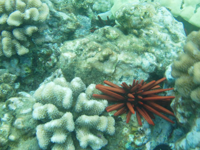 Red pencil urchin - free image