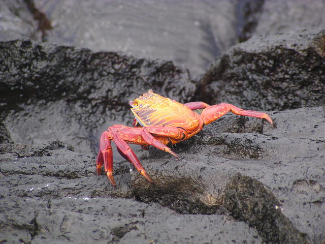 red rock crab - free image