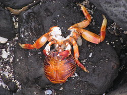 red rock crab shedding it's shell