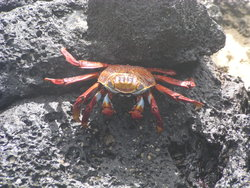 Red Rocky crab