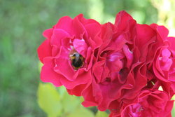 Rose with bees