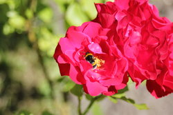 Rose with bumblebee
