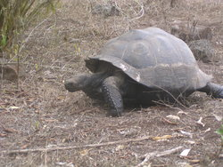 saddle backed Tortoise