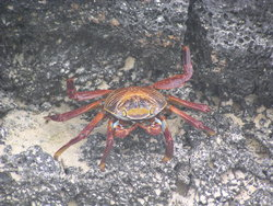 sally Light Foor crab