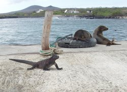 Sea lion and Marine Iguana