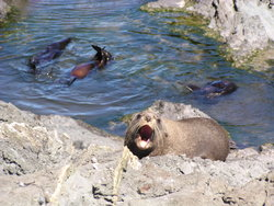 sea lion shouting
