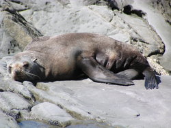 Sea lion sleeping