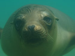 Sea lion whiskers