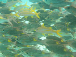 Shoal  of smal yellow fishes