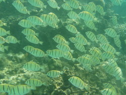 shoal of stripped fish
