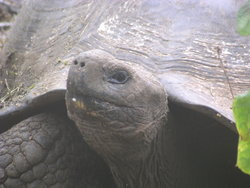 short necked giant tortoise