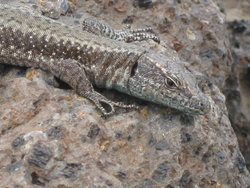 spanish wall lizard