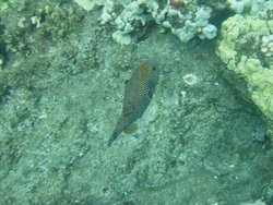 spotted porcupine fish
