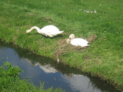 swans caring for each other