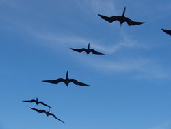 swarm of frigatebirds