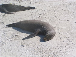 tired sealion