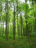 very green beech forest