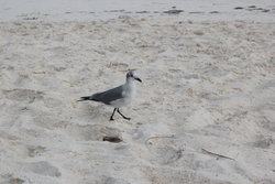 walking sea gull