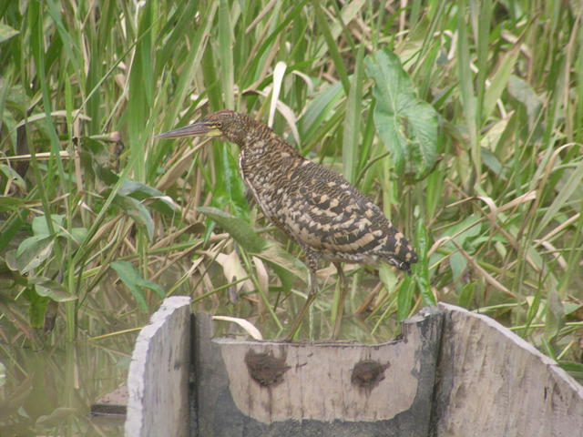 Whimbrel Bird - free image