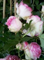 white roses with pink edges