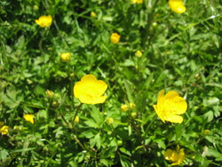 wonderful buttercup