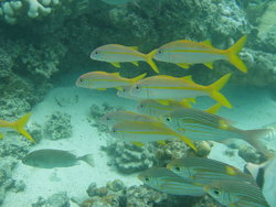 Yellow stripes fishes